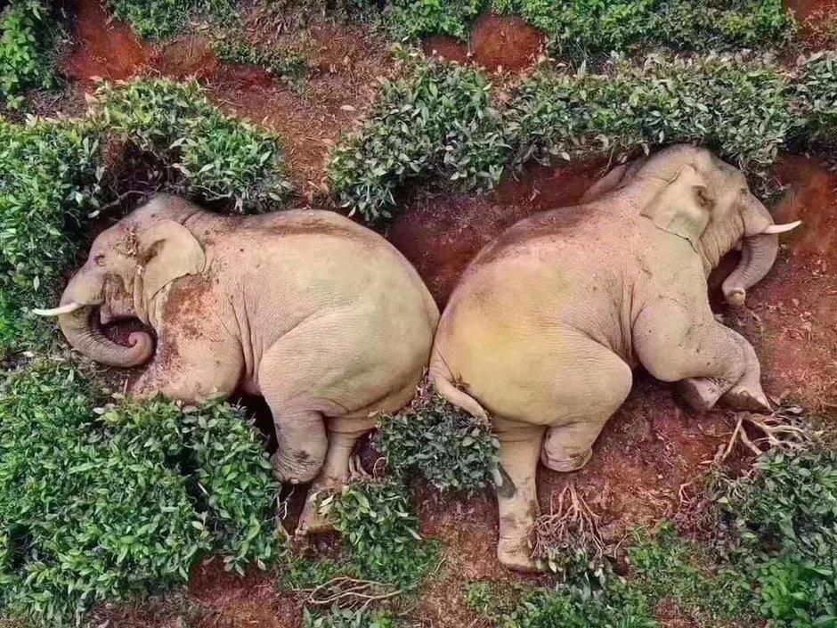 Слоны накитайской ферме